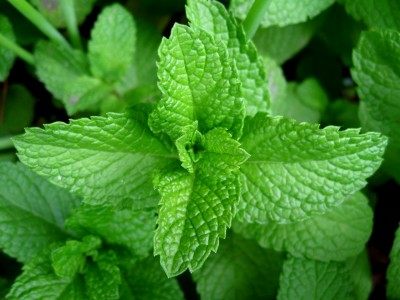 Mentha Piperita Facts The Facts Peppermint Mentha