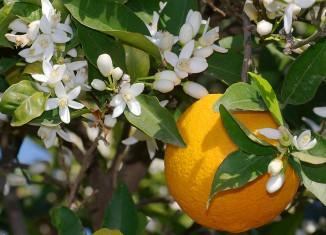 orange blossom fun facts