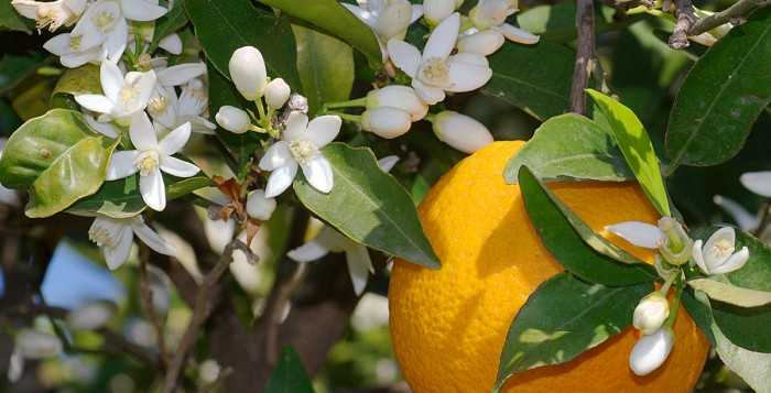 orange blossom fun facts
