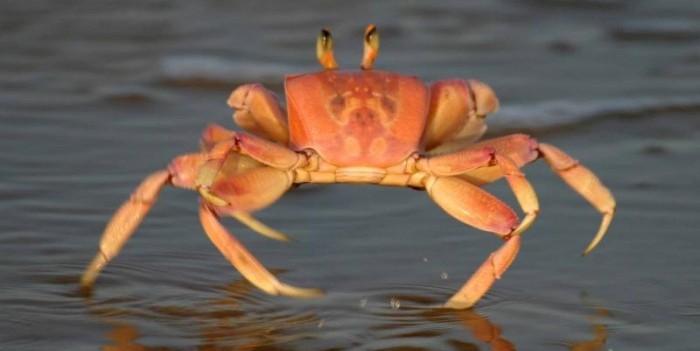 Crab Fun Facts | Mobile Cuisine