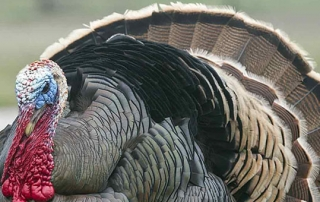 turkey fun facts
